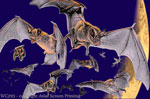 Bat Spiral 2