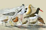 "Shorebirds 2"" X 3"" Magnet"
