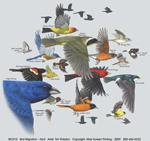 Bird Migration Adult T-shirt