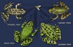 Frog Circle 2