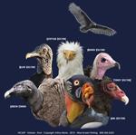 Vultures Adult T-shirt