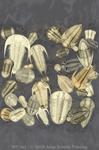 "Trilobite Fossils 2"" X 3"" Magnet"