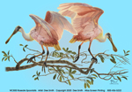 Roseate Spoonbills Ladies Scoop Neck