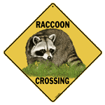Raccoon Crossing