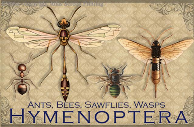 "Vintage Hymenoptera 2"" X 3"" Magnet"