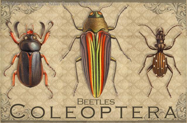 """Vintage Coleoptera 2"""" X 3"""" Magnet"""