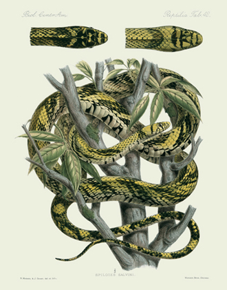 BCA Reptilia Tab 42 Yellow Rat Snake Reproduction Print