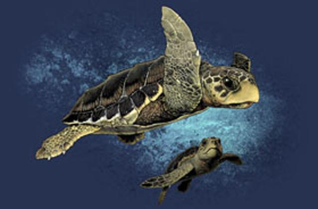 "Loggerhead Turtles 2"" X 3"" Magnet"