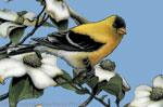 "American Gold Finch 2"" X 3"" Magnet"