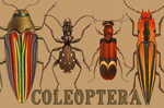 "Coleoptera 2"" X 3"" Magnet"