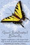 "Tiger Swallowtail Butterfly 2"" X 3"" Magnet"