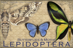 "Vintage Lepidoptera 2"" X 3"" Magnet"
