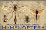 "Vintage Hymenoptera 2"" X 3"" Magnet"