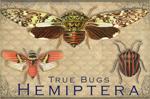"Vintage Hemiptera 2"" X 3"" Magnet"
