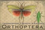 "Vintage Orthoptera 2"" X 3"" Magnet"