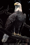 "In All Her Glory - Bald Eagle 2"" X 3"" Magnet"