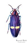 Burpestid Beetle