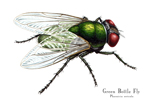 Green Bottle Fly