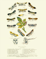 Curiosities Micro-Lepidoptera Reproduction Print