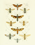 TOI PL 23 Ibaliid Wasps Reproduction Print