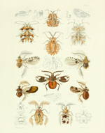 TOI PL 36 Leaf-footed Bugs Reproduction Print