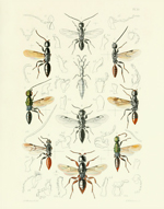 TOI PL 35 Thread-waisted Wasps Reproduction Print