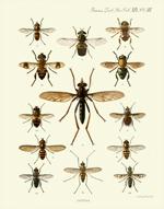 TZSL Vol XIX PL III Diptera Reproduction Print