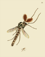 NHBI Vol 1 PL 22 Diptera Reproduction Print