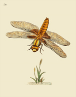 NHBI Vol 1 PL 24 Depressed Dragonfly Reproduction Print