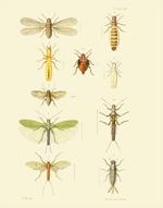 EMNZE PL XVI Orthoptera Reproduction Print
