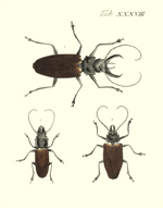 Drury's Tab: XXXVIII Timber Borer Beetles Reproduction Print