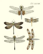 Drury's Tab: XLVIII Skimmers Reproduction Print