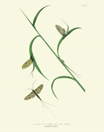 Curiosities PL 1 - The May Fly Reproduction Print