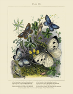The Vivariam PL III Butterflies Reproduction Print