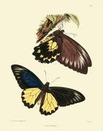 Lepidoptera Exotica PL I Papilio Miranda Reproduction Print