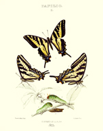 Edwards BF's of NA Papilio I Reproduction Print