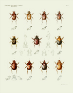 AKAW Taf II Beetles Reproduction Print