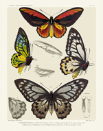 Icones PL 14 Bird-Wing Butterflies Reproduction Print