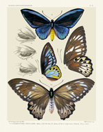 Icones PL 16 Bird-Wing Butterflies Reproduction Print