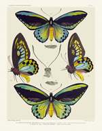 Icones PL 1a Bird-Wing Butterflies Reproduction Print