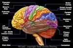 "Brain 2"" X 3"" Magnet"
