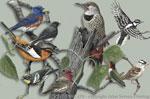 "Western Songbirds 2"" X 3"" Magnet"